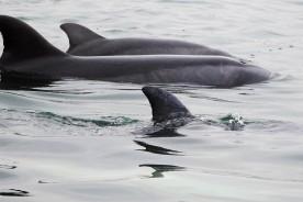 Delfines Islas Ballestas