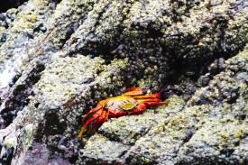 Cangrejo rojo Islas Ballestas