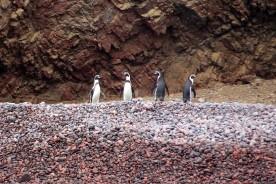 Pingüinos de Humboldt Islas Ballestas